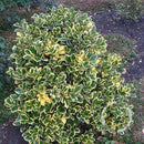 Ilex altaclerensis 'Golden King' – Golden Holly