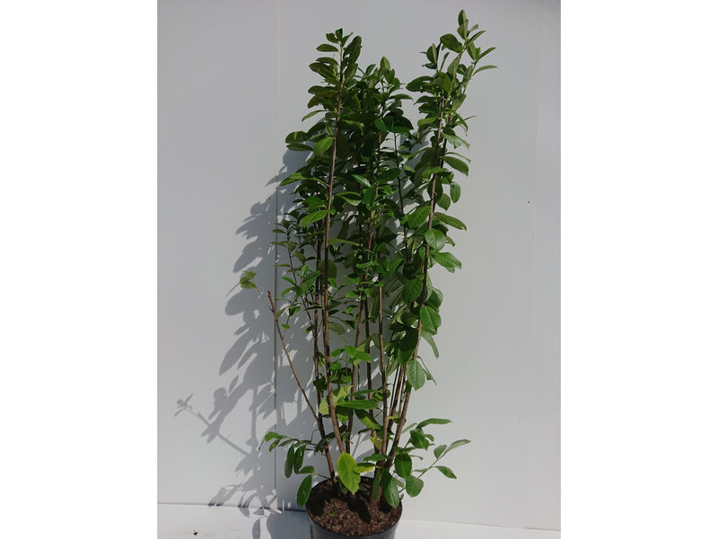 Cherry Laurel - Prunus laurocerasus