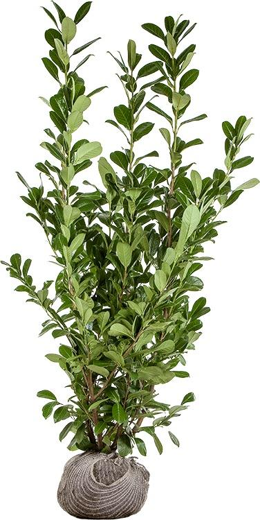 Cherry Laurel – Prunus laurocerasus Rootball