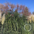 Miscanthus sinensis - Chinese Silver Grass