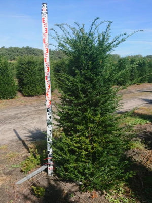 Yew Tree – Taxus baccata Rootball