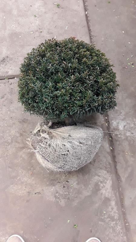 Taxus baccata – English Yew (Ball Shape)