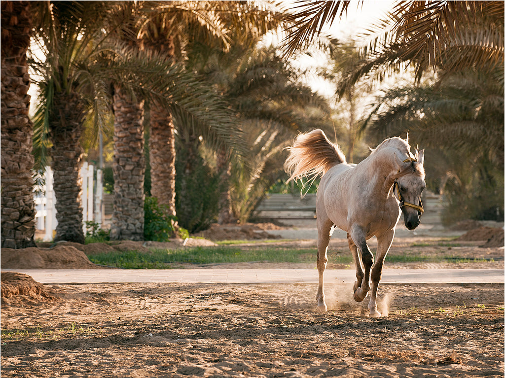 Arabian in the Palms :: Fine Art Print