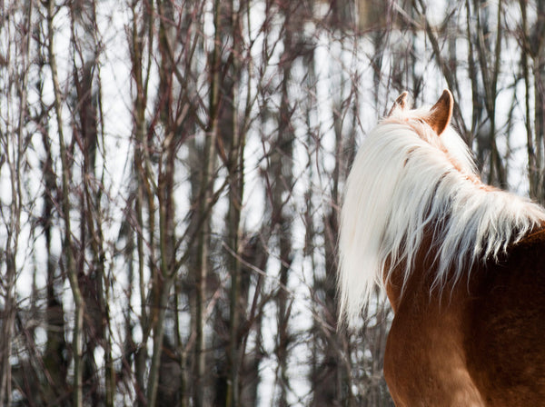 Haflinger in the Trees :: Fine Art Print