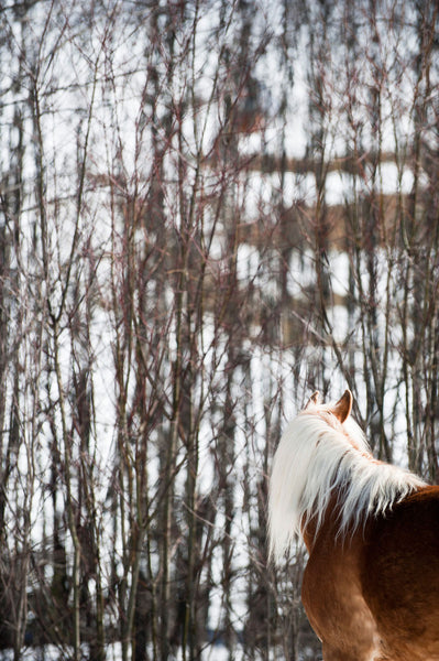 Haflinger & The Trees