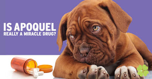 Is Apoquel Really A Miracle Drug?