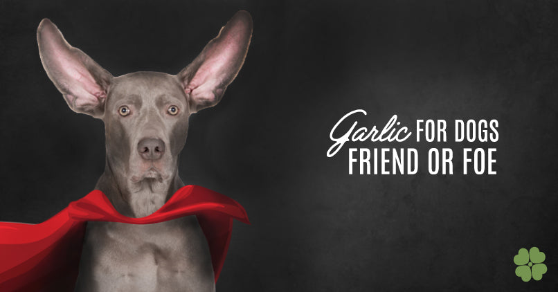 Garlic For Dogs: Friend Or Foe?