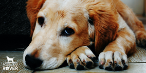 How To Help Your Dog Avoid 7 Common Immune Stressors