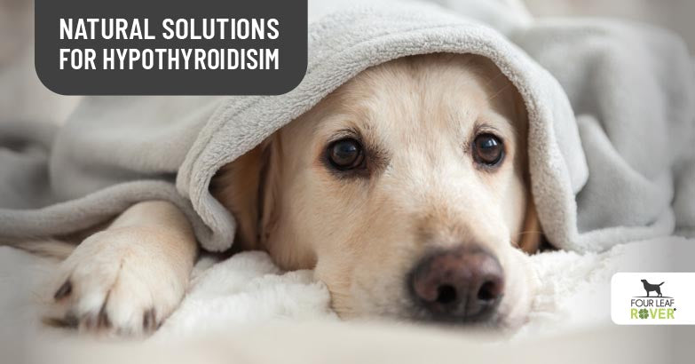 DIY Solutions For Thyroid Problems In Dogs