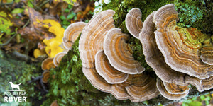 8 Reasons Your Dog Needs Turkey Tail Mushrooms