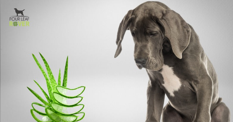 Is Aloe Safe Or Toxic For Dogs? Here's What You Need To Know