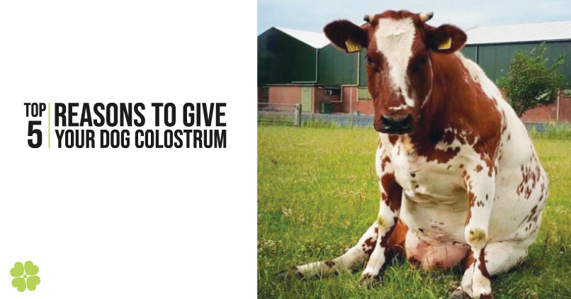 Benefits of colostrum for dogs. A photo fo a cow and the title, top 5 reasons to give your dog colostrum