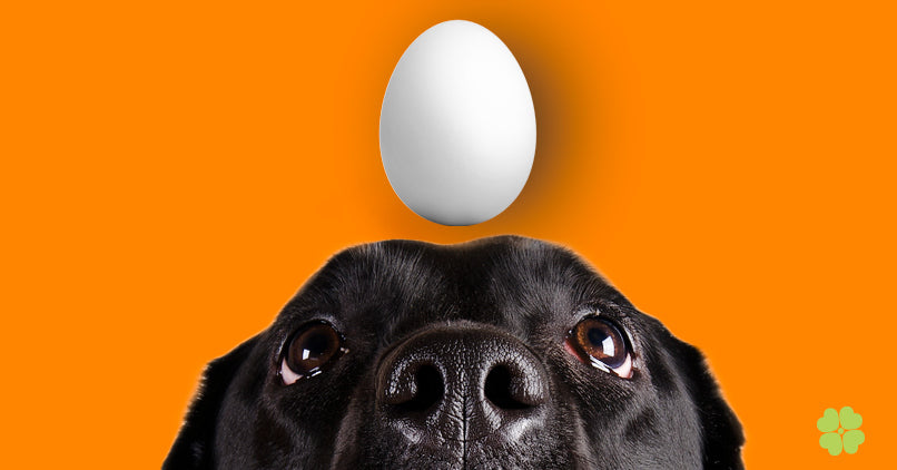 Black lab looking up at an egg
