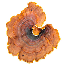 Turkey Tail Image 1