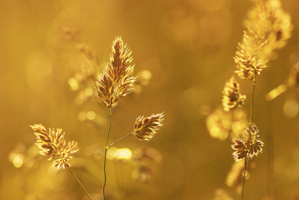 A beautiful field of golden wheat