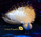 ChicFreakz Mascot Lola The Peacock (photographed at Greater Vancouver Zoo)