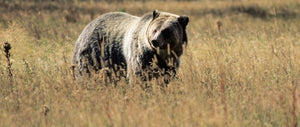 Recovery and Delisting of Yellowstone Grizzly Population
