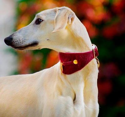 Bizarre Italian Greyhound Collar