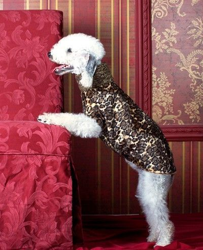 Leopard Sighthound shaped Dog Coat