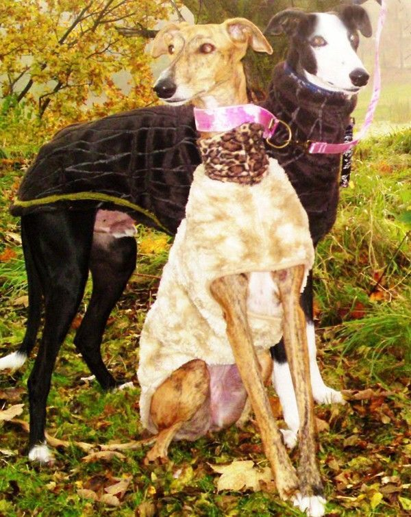 Black Coat Italian Greyhounds and Whippets