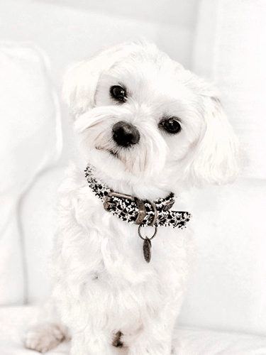Chanelish Dog Collar - BARCELONADOGS