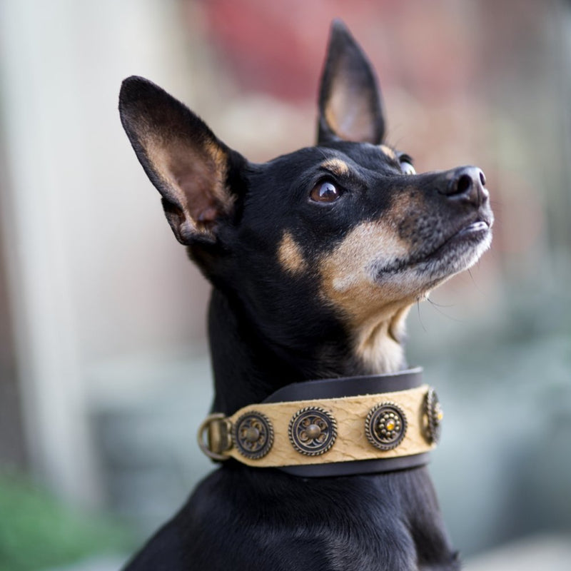 Hollywood Dog Collar