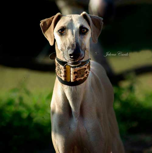 Lazaro Sighthound Collar - BARCELONADOGS