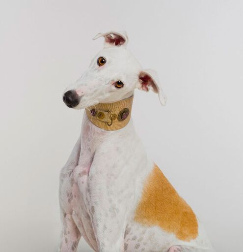 Legend Italian Greyhound Collar
