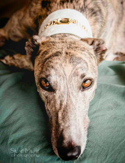 Garbo Sighthound Collar