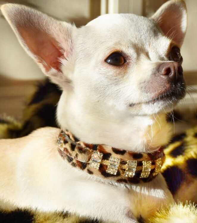 Petit Blanche Dog Collar - BARCELONADOGS