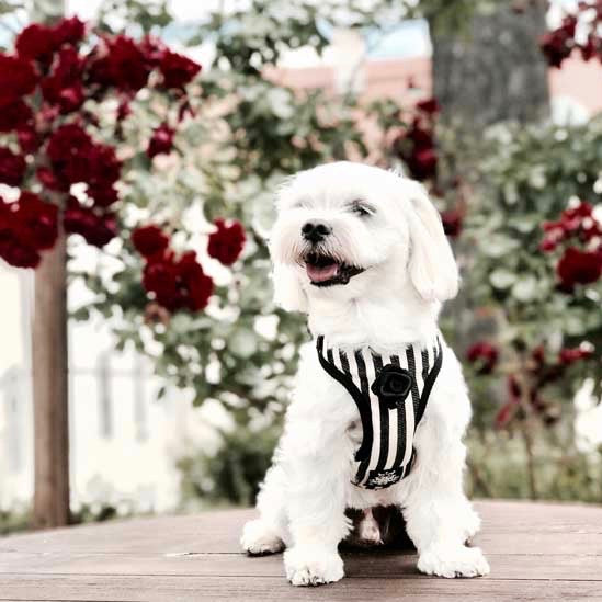 Striped Black & White Harness with Leash