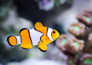 All clowfish are born male and can change sex