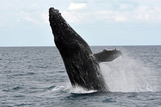 The return of a major food fish has brought whales and larger fish back to New York waters