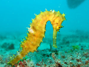 Why protect seahorses?