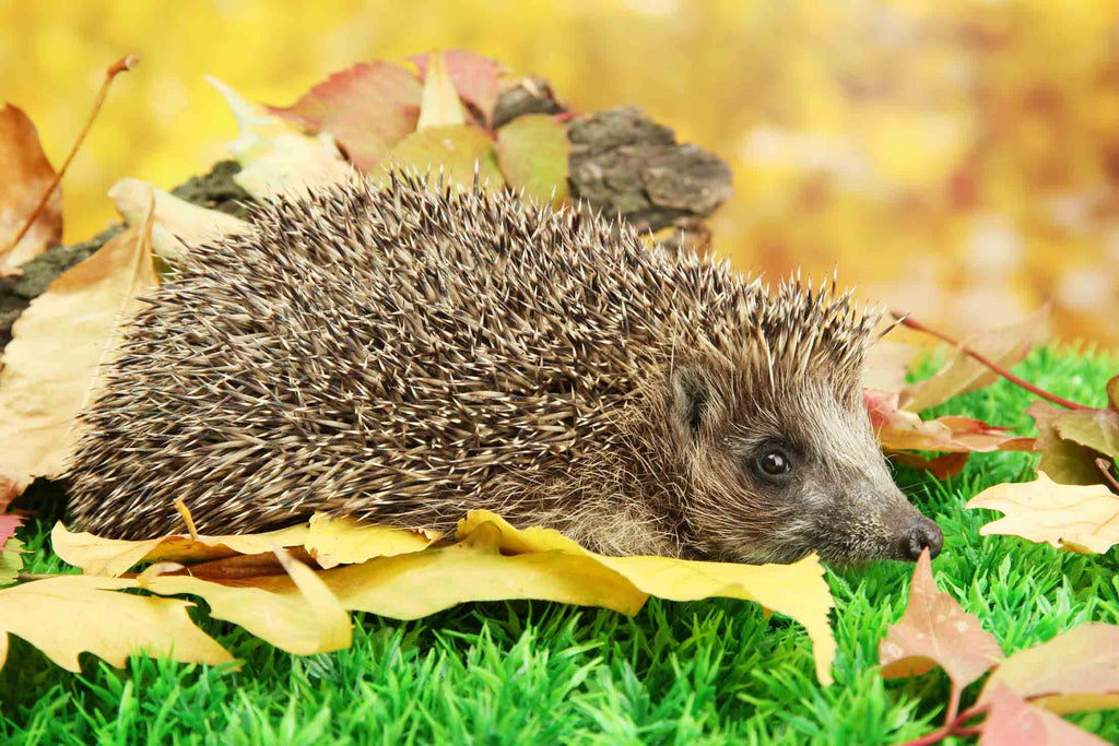 Help hedgehogs this autumn