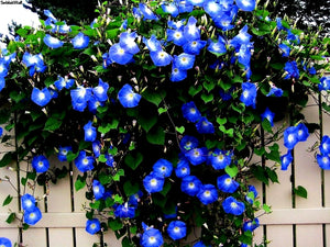 FREE SHIPPING MORNING GLORY SEEDS HEAVENLY BLUE Ipomoea violacea Convolvulaceae Untreated seeds