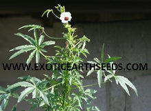 Load image into Gallery viewer, KENAF HIBISCUS CANNABINUS SEEDS hemp flower false looking cannabis marijuana plant! VERY RARE EDIBLE PLANT!