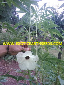 KENAF HIBISCUS CANNABINUS SEEDS hemp flower false looking cannabis marijuana plant! VERY RARE EDIBLE PLANT!