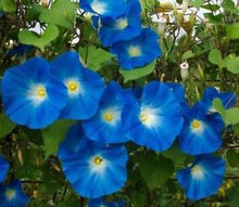Load image into Gallery viewer, FREE SHIPPING MORNING GLORY SEEDS HEAVENLY BLUE Ipomoea violacea Convolvulaceae Untreated seeds