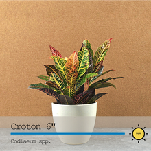 Load image into Gallery viewer, Croton 6""