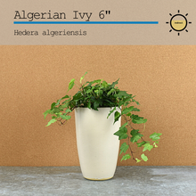 Load image into Gallery viewer, Algerian Ivy 6""