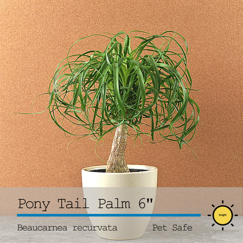 Pony Tail Palm 6