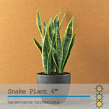 Load image into Gallery viewer, Snake (Sansevieria) 6""