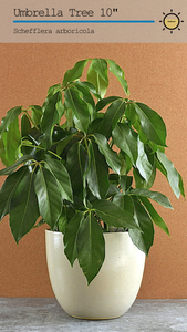 Umbrella Tree (Schefflera Amate) 10""