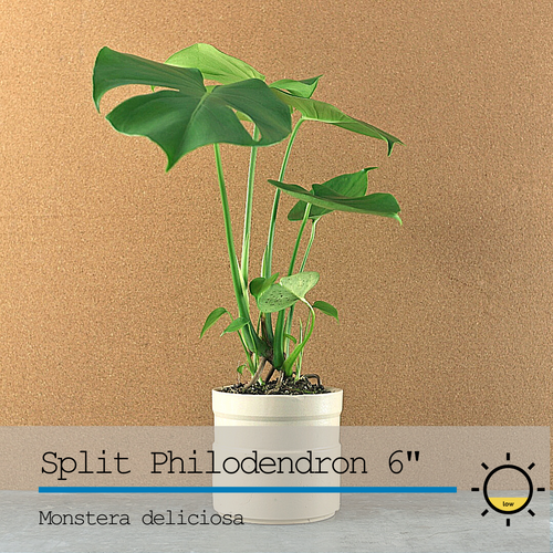 Split Leaf Philodendron (Monstera) 6