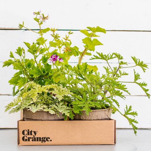 Scents of Summer: Scented Geranium Collections