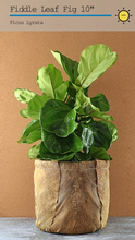 Load image into Gallery viewer, Fiddle Leaf Fig 10""