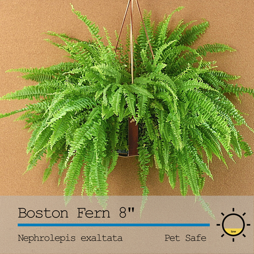 Boston Fern 10