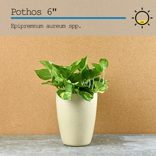Load image into Gallery viewer, Pothos Gold 6""