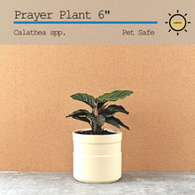 Load image into Gallery viewer, Prayer Plant (Calathea) 6""